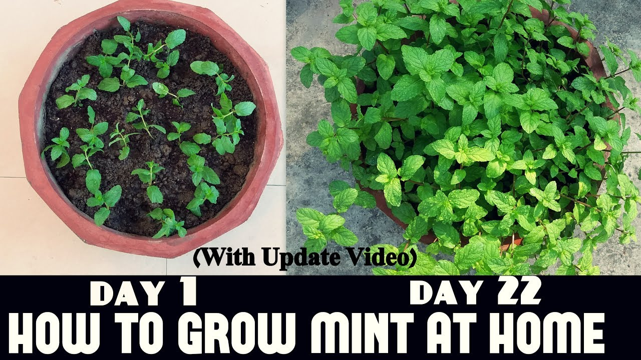 More About How Long For Peppermint Seeds To Germinate
