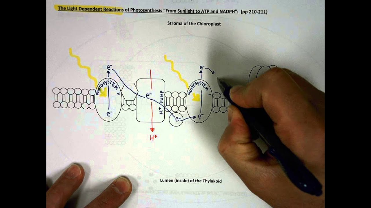 The light dependent reactions of photosynthesis youtube ccuart Choice Image