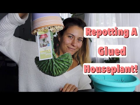Rescuing Glued Down Houseplants! How To Remove Glue From Big Box Store Plants!