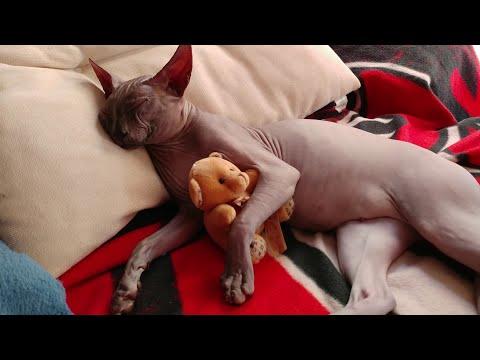 Sphynx cat sleeping like angel / DonSphynx / #YouTubeRewind