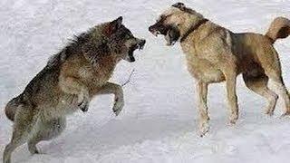 German Shepherd vs Kangal