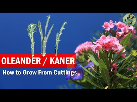 How to Grow Oleander from Cuttings | Growing Kaner Nerium Ol
