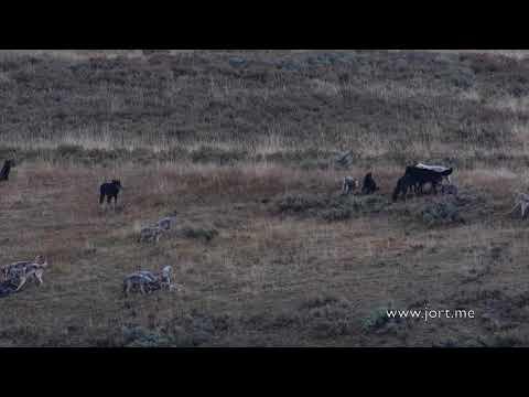 Wapiti Lake wolf pack in Yellowstone part 2