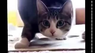 Приколы с котами, Кот танцует под музыку