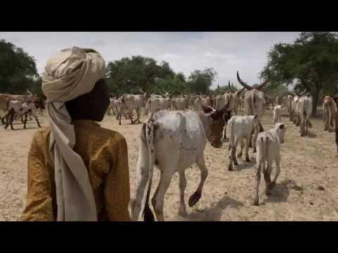 تشاد:تحصين الماشية لحماية سبل العيش