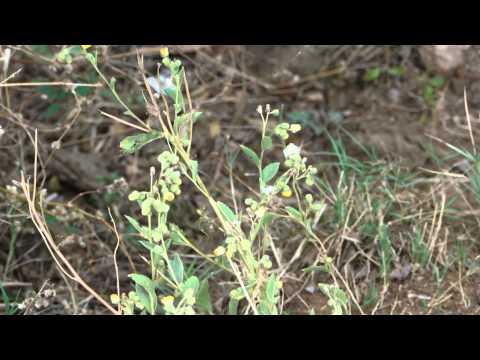 Diabetes Herbs. 337R. Blumea lacera © Pankaj Oudhia