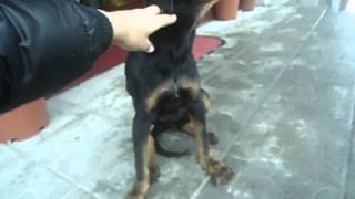 Dolly - Bolesno Stene Rota 2. Deo / Dolly - Deformed Rottweiler Mix Puppy Part 2