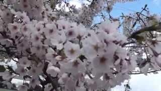 桜 / Cherry Blossom 【オックスワード動画辞典/oxward Movie Dictionary】