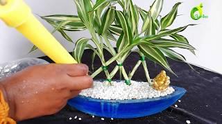 lucky bamboo growing ideas/lucky plant/lucky bamboo decoration/organic garden
