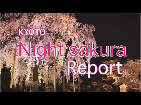 Kyoto Night Sakura report