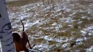 Red Bone Coon Hound Training