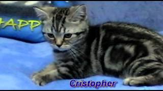 Британские котята окраса вискас(Litter c 2 5 months)