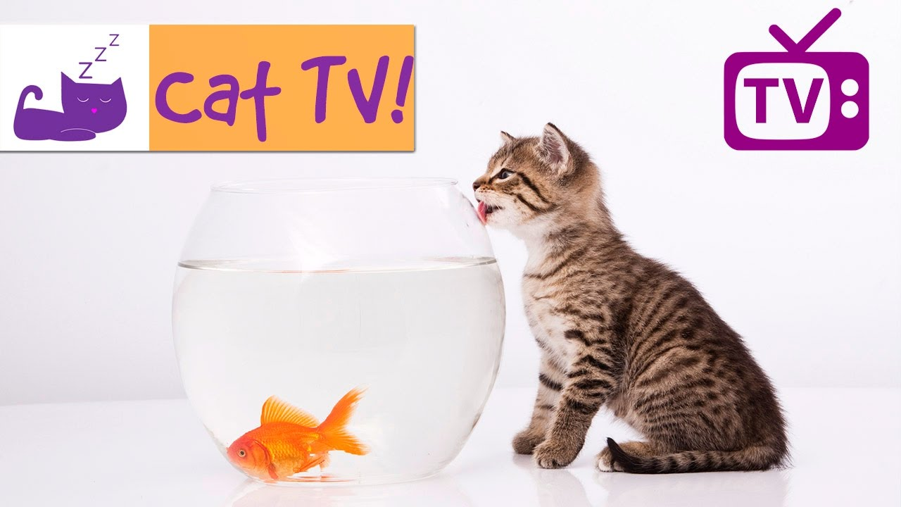 Cat tv 30 min fish swimming in tank combined with for Fish videos for cats