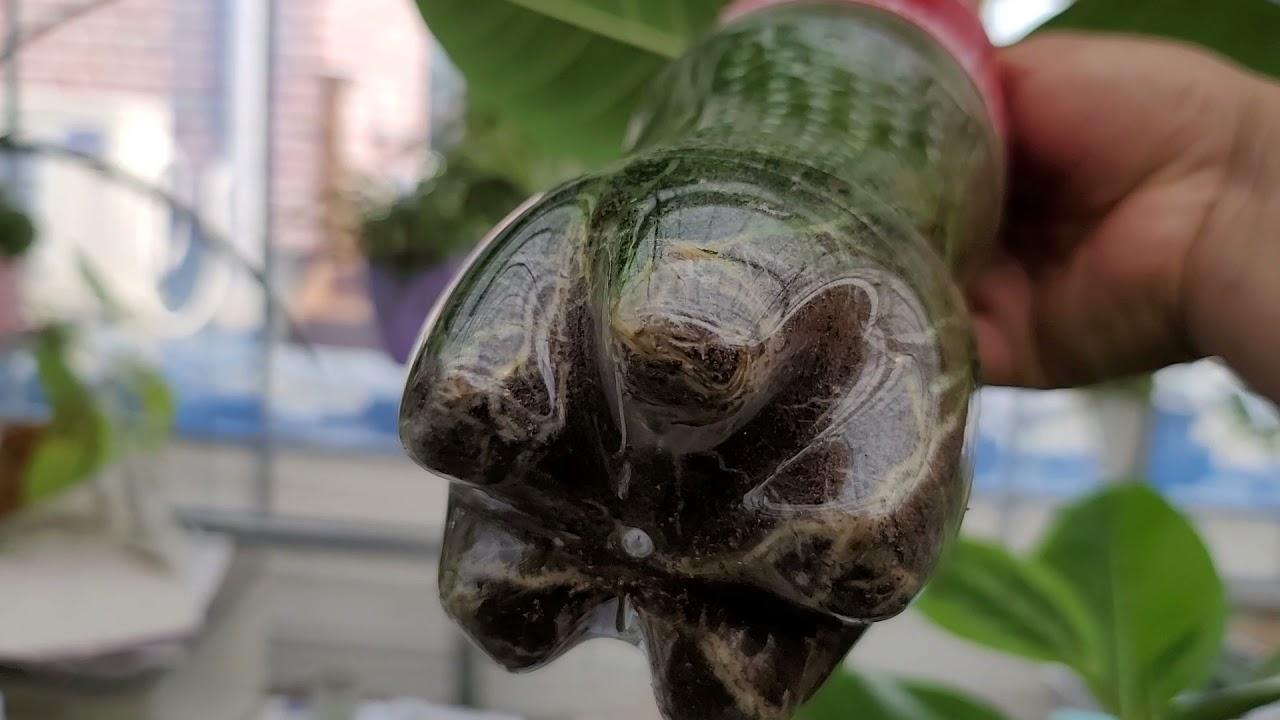 뱅갈고무나무 전지후 물꽃이 뿌리내려 분갈이후 성장모습
