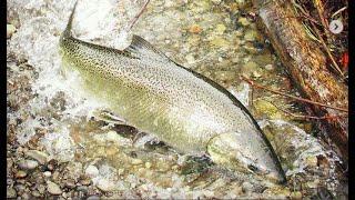 Salmon Swimming Upstream To Spawn, Wild Salmon Spawning Underwater, Fall Salmon Run