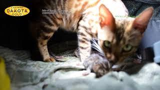 Dakota Gold, официальный питомник бенгальской кошки, новорожденные бенгальские котята