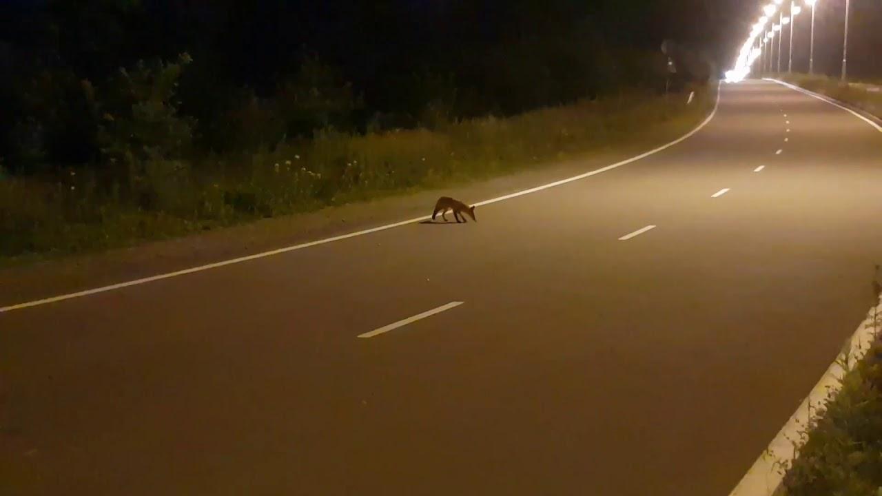 Кормил лисичек на Русском острове - YouTube