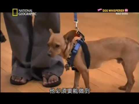 Cesar Milan calm a dog in seconds