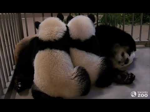 5 Years, 5 Videos - Giant Panda Best Family Moments
