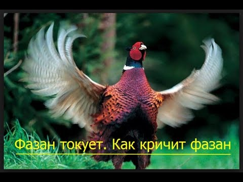 Как кричат фазаны