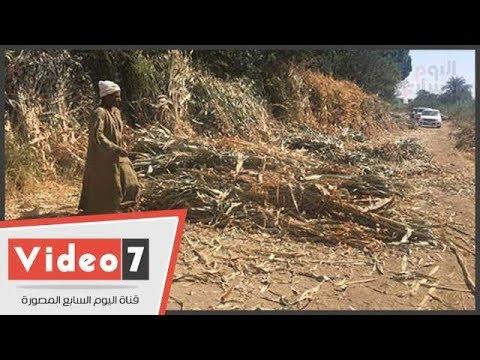 طوارئ بأسيوط لمواجهة حرق -بوص الذرة- بتجميعه من المزارعين  - نشر قبل 13 ساعة