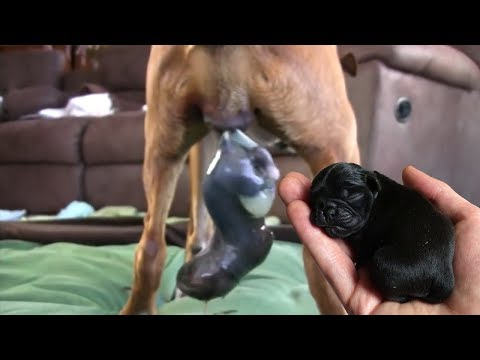 mother-pug-dog-breeds-gives-birth-to-10-babies-great- -wonderful