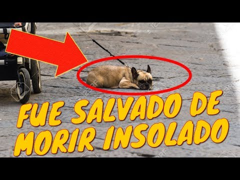 Tommy: El Perrito Pug de Mi Prima Keka | Tu Mascota TV