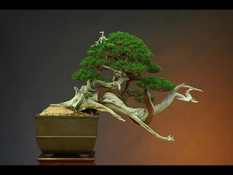 Japan art of growing the indoor bonsai tree youtube - Bonsai zimmerpflanze ...