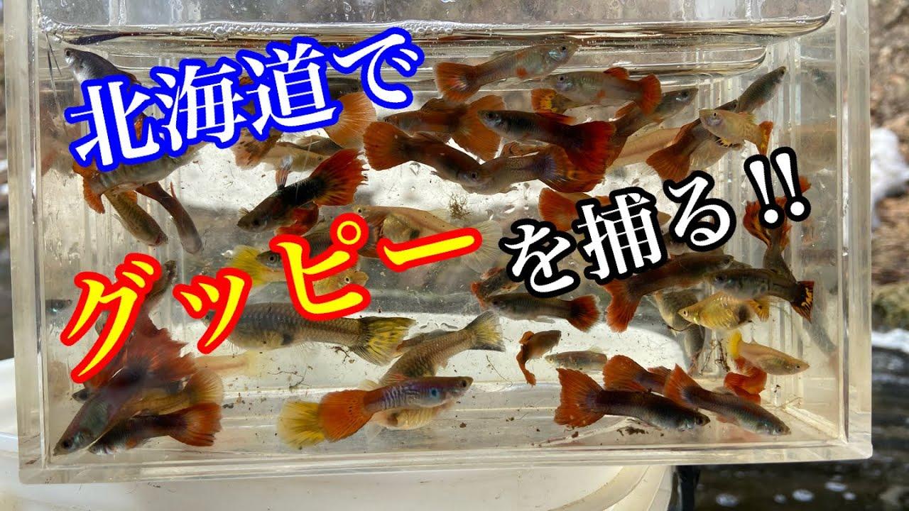 北海道でグッピーを捕まえろ!北海道熱帯魚探しガサガサ