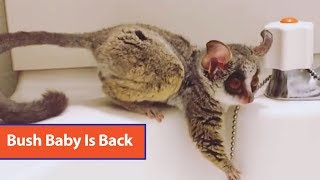 Bush Baby Plays With Stopper