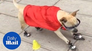 Dog in cape and sunglasses shows off his roller-skating skills - Daily Mail