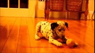Animals Symphony 1 | Baby Sheep, Erinaceus, Dalmatian, Funny Cat, Mini Horse And Racing Parrot
