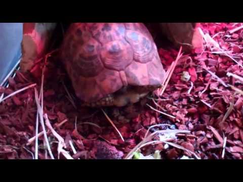 Slowy, The Golden Greek Tortoise