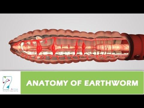Anatomy Of Earthworm