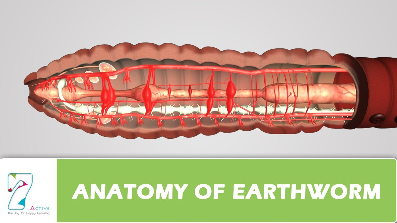Anatomy Of Earthworm Youtube