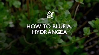 How To Blue A Hydrangea