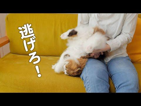 【悲劇】膝の上で猫をなでていたらお尻にう〇こが付いていた