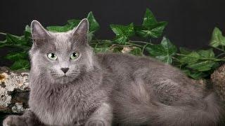 Кошки породы Нибелунг - призрачный туманный житель