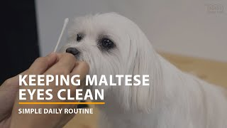 Keeping Maltese Eyes Clean  Simple Daily Routine