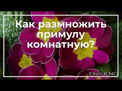 Вопрос: Какой лучший способ размножения примулы мелкозубчатой?