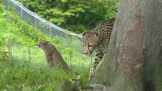 チーターとシマウマが生活するこの動物園。 チーターとシマウマの関係に...