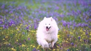 American Eskimo Dog Breed :details Of American Eskimo Dog:information:images:news American Eskimo