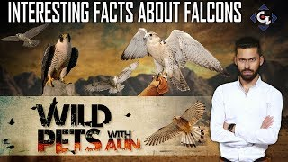 Interesting facts about falcons  | Wild Pets with Aun 22nd September 2019
