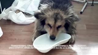Пес вернулся с того света Чудесное спасение собаки с опарышами в теле
