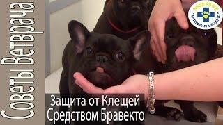 Обработка Собак от Клещей. Французские Бульдоги