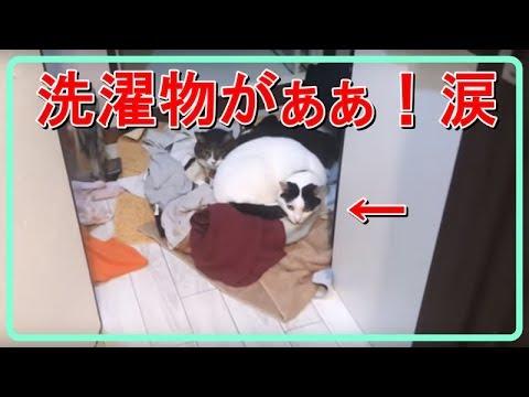 風アイロンでホクホクに仕上がった「洗濯物と兄弟猫」が見分けがつかな件