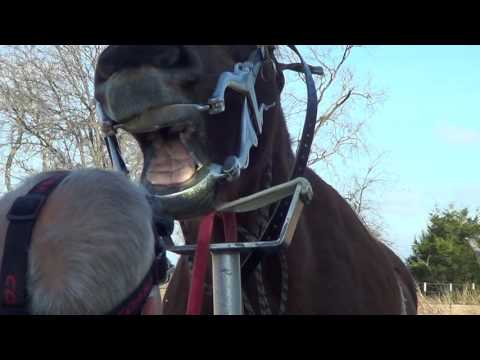 Equine Dentistry Floating Horse Teeth Part 2 of 6 - Teeth Inspection and Filing Work On Mr. T