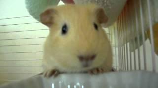 嚼嚼嚼的妮妮 (huiniuni- Guinea pig/cavy)