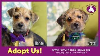 Adopt Us! Hansel & Gretel |  Yorkshire Terrier Mix Puppies - Furry Friends Rescue