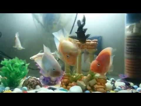 My parrot fish tank..